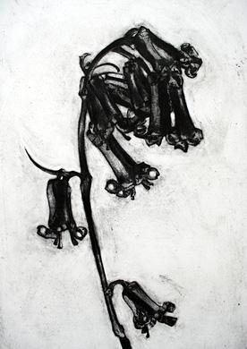 endymion nonscriptus